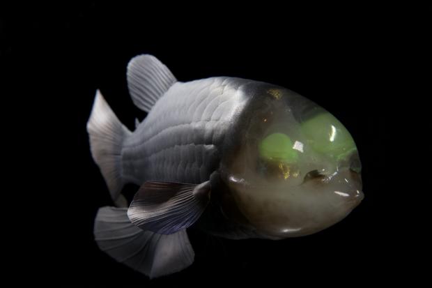 Ученые нашли рыбу с прозрачной головой