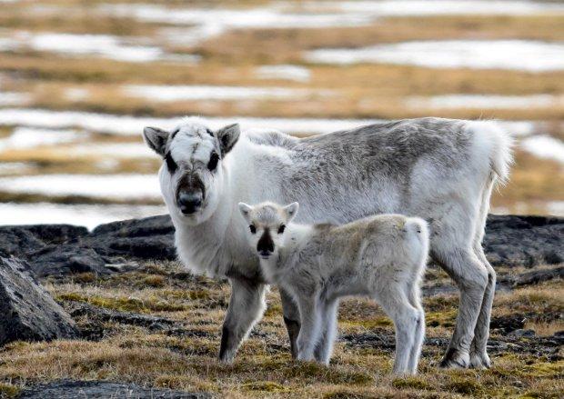 Редкий вид животных оказался под угрозой вымирания: борьба северных оленей за жизнь поражает и вдохновляет