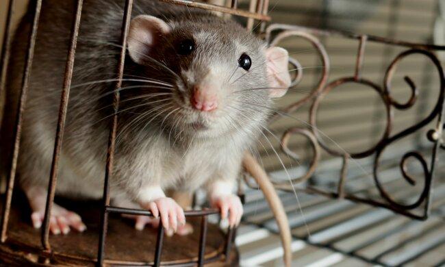 Такая крыса нужна каждому: грызун пишет картины и продает их по ценам мировых шедевров, фото