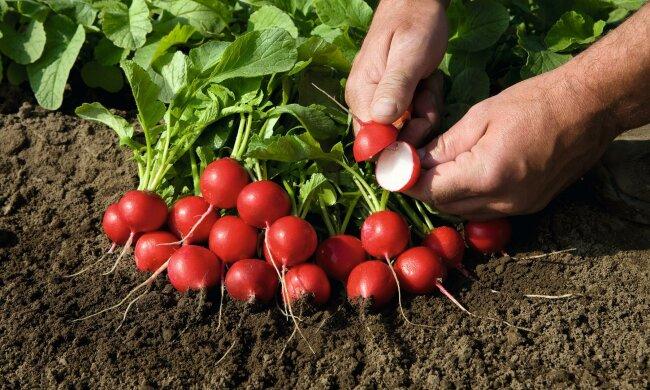 Медики рассказали о полезных свойствах популярного сезонного овоща: «неоценим для организма, но полезен не всем»