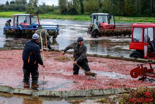 По пояс в воде — как собирают клюкву на белорусском Полесье