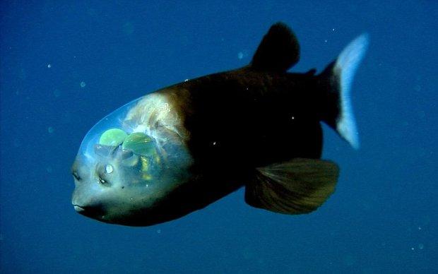 Ученые показали аномальную рыбу с уникальной способностью: «смотрит сквозь голову»
