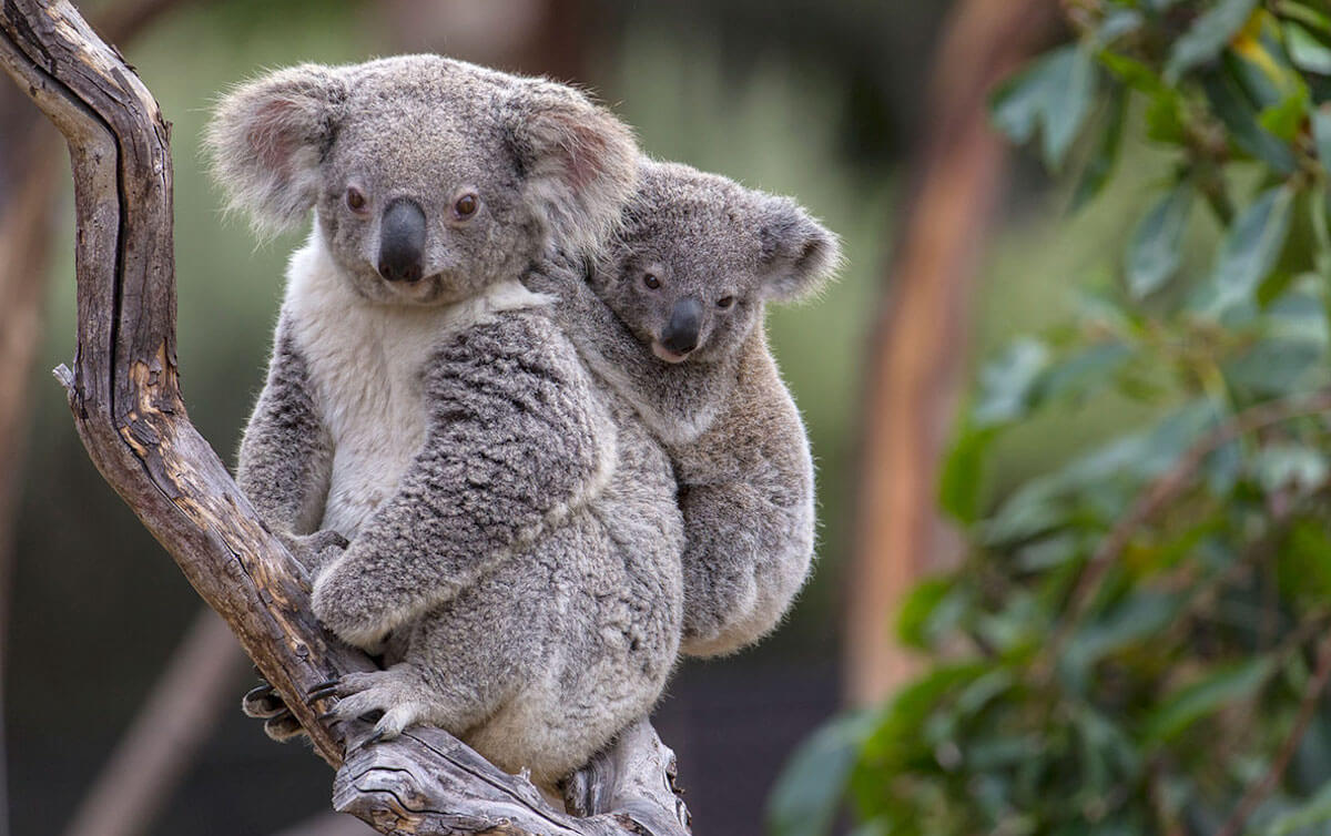 полицейский коала фото животного немало подвидов сорта