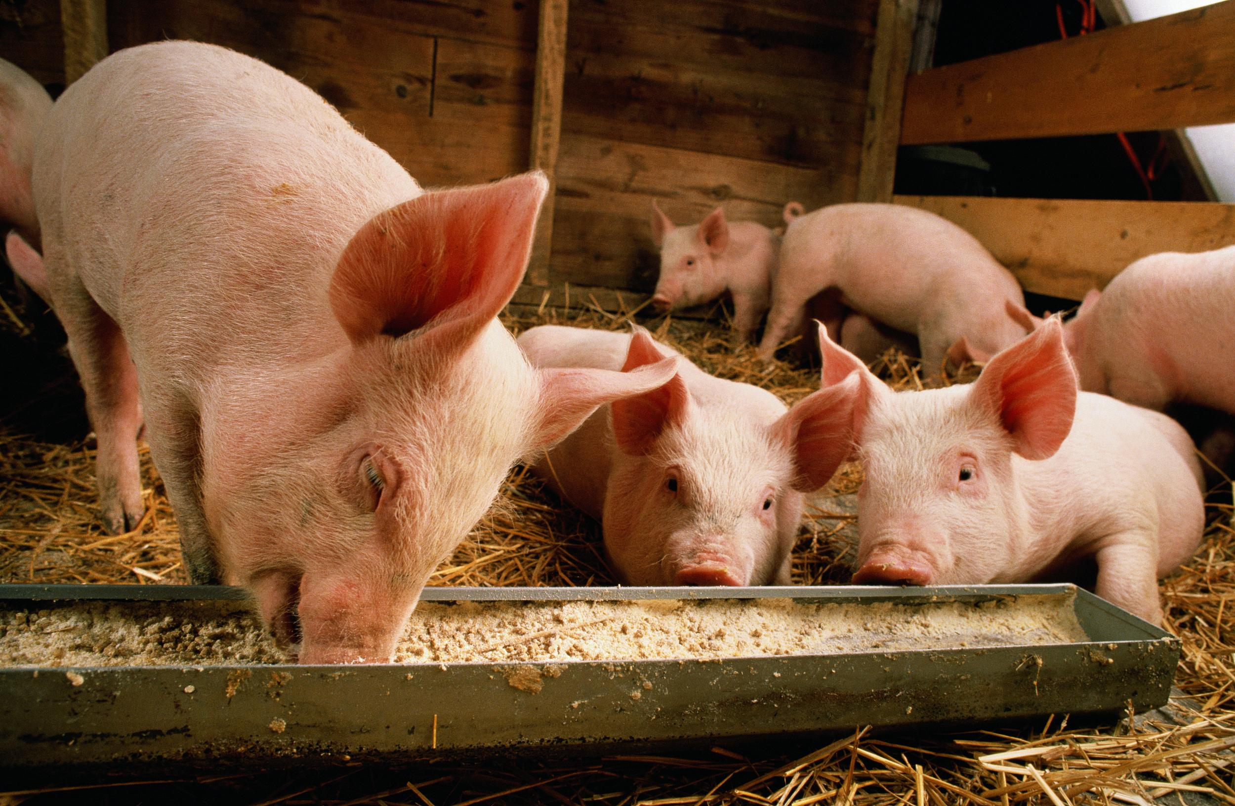 Картинки свинарников для свиней