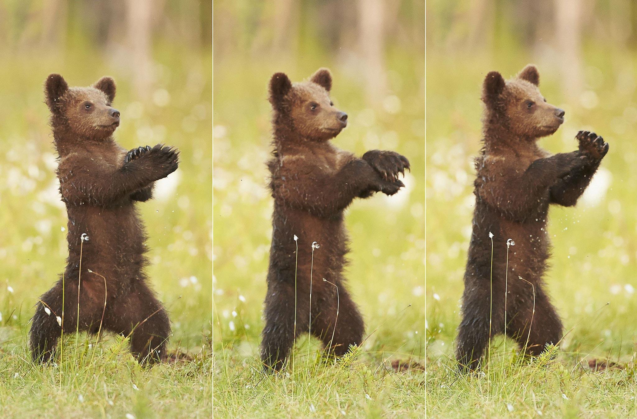 картинки мишка танцует понятно только